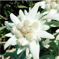edelweiss-image